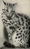 Indian leopard-cat