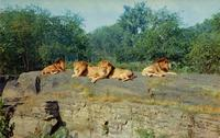 "Lions on ""Lion Island"" in the Bronx Zoo"