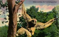 Gibbon and baby, New York Zoological Park