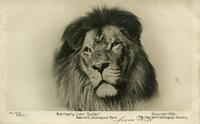 "Barbary lion ""Sultan."" New York Zoological Park"