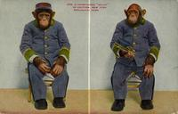 "Chimpanzee ""Baldy"" in uniform, New York Zoological Park"