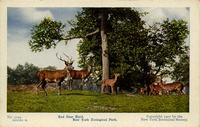Red deer herd. New York Zoological Park
