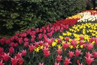 New York Botanical Garden's Tulip Walk