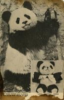 Baby giant panda given to children of America by Mme. Chiang Kai-shek