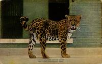 "Jaguar ""Senor Lopez"" New York Zoological Park"