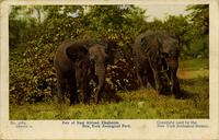Pair of East African elephants. New York Zoological Park