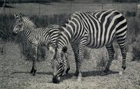 Grant's zebra and foal