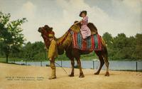 Riding animal, camel. New York Zoological Park