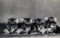 Four little tigers