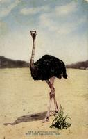 African ostrich. New York Zoological Park