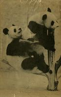 Playful giant pandas