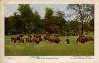 Buffalo herd. New York Zoological Park