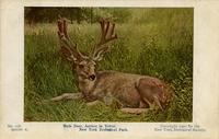 Mule deer, antlers in velvet. New York Zoological Park