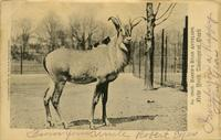 Baker's roan antelope New York Zoological Park
