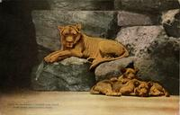 Barbary lioness and cubs New York Zoological Park