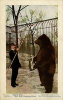 Kadiak bear. New York Zoological Park