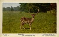Fallow deer. New York Zoological Park