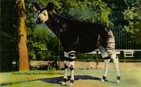 Rare okapi, New York Zoological Park