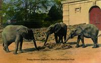Young African elephants, New York Zoological Park