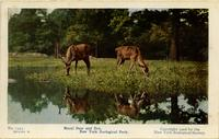 Mule deer and doe. New York Zoological Park