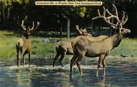 American elk or wapiti, New York Zoological Park