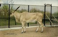 Eland New York Zoological Park