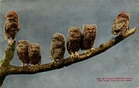 Young screech owls. New York Zoological Park