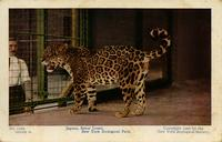 Jaguar, Senor Lopez. New York Zoological Park