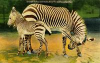 Grant's zebra and baby, New York Zoological Park
