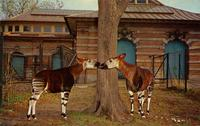 Rare okapis from Africa in the Bronx Zoo
