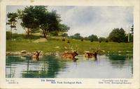 Elk bathing. New York Zoological Park