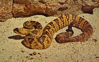 Black-tailed rattlesnake--Bronx Zoo