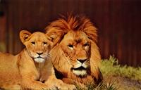 Lion and cub--Bronx Zoo