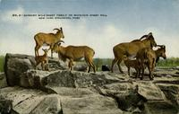 Barbary wild sheep family on Mountain Sheep Hill New York Zoological Park