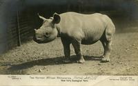 Two horned African rhinoceros. New York Zoological Park
