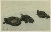 Giant snapping turtles