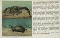Alligator and Snapping Turtle, or, Alligator and Spotted Turtle