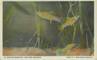 Mexican swordtail
