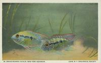 Broad-headed cichlid