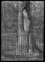 225-year-old tulip tree, with inscription, Inwood Park, Inwood, New York City, November 1912.