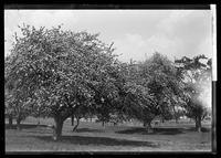 Apple trees in bloom near Century House, Harlem River, New York City, 1893.