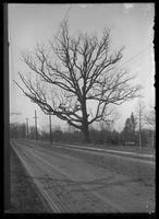 The Spy Oak, Middletown Road near Pelham Bay, Bronx, New York City, undated (ca. 1890-1919).