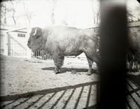 Menagerie at Central Park, New York City, April 8, 1891. Bison.