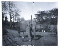 Elephants, Central Park, New York City, undated.