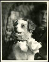 New York City: Alfred Funck's dog, 1926. Studio portrait.