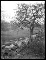 Apple tree and dry stone wall, Wykagyl, New Rochelle, N.Y., undated.