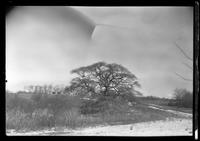 Large bare tree growing in sandy soil. Unidentified low buildings on hill in background, undated. Blurry.