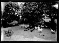 Amagansett / Wainscott, Long Island: [high-contrast shot of geese in unidentified farmyard, undated.]