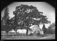 Amagansett / Wainscott, Long Island: [large, stately tree beside unidentified small wood-shake house with a well, undated.]