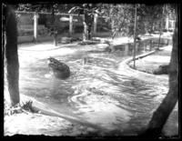 Alligators in an enclosure, Savannah, Georgia, undated (ca. 1920).